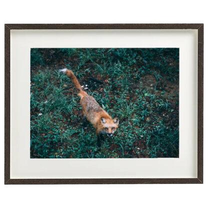 Foto con cornice - Fox - South Carolina 2019 - 40x50cm